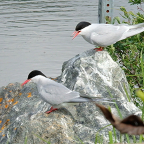 Adult Arctic Terns on rock
