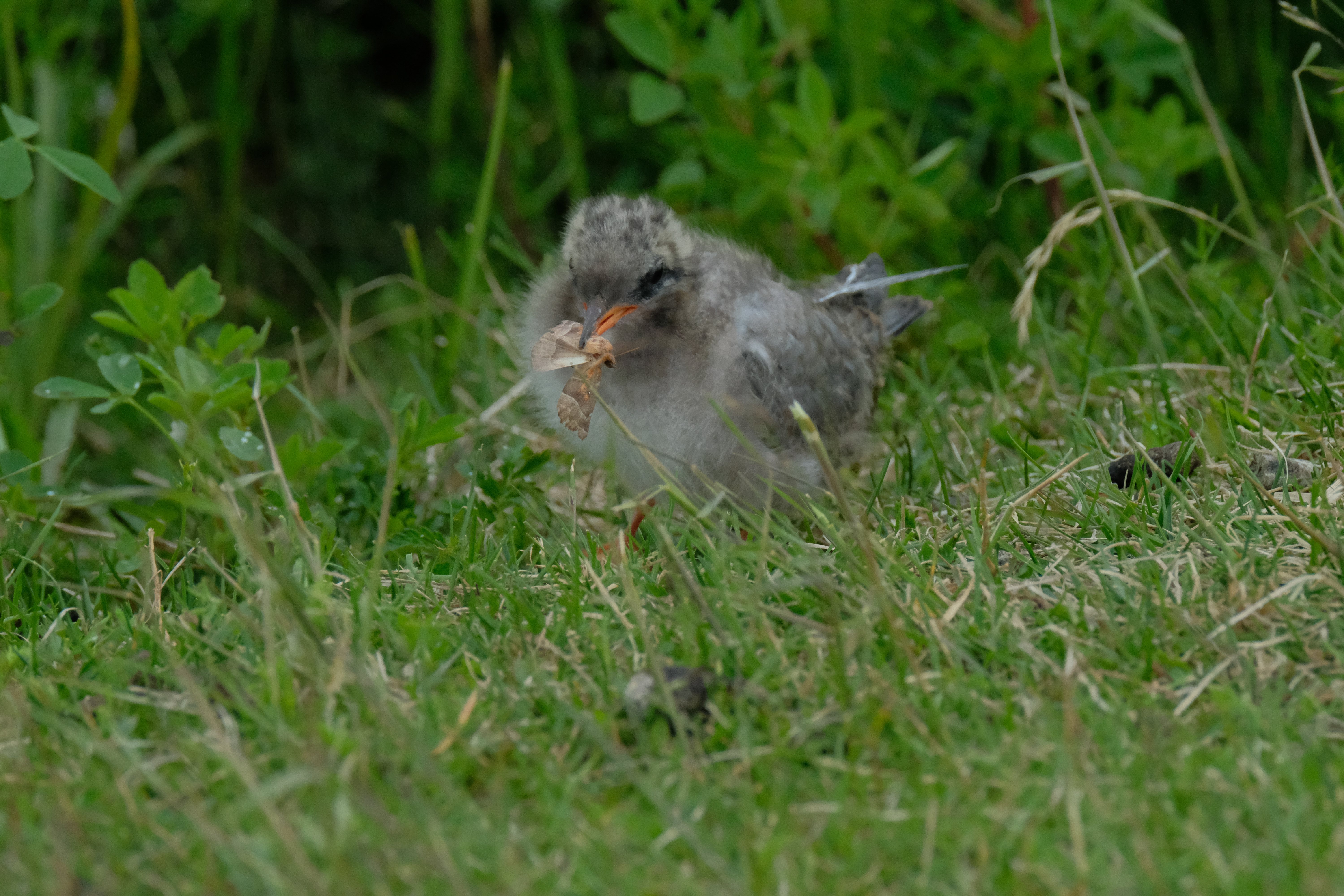 Baby Arctic Tern caught a moth